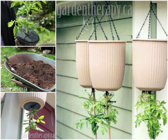 Upside Down Tomato Container Gardening