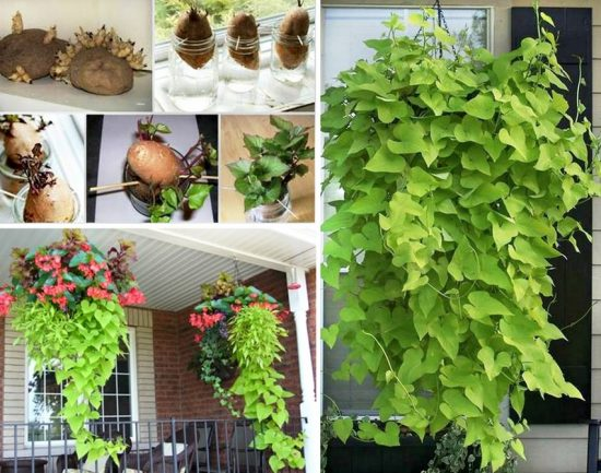 Grow A Sweet Potato Vine
