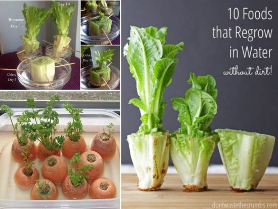 Foods you can regrow in water