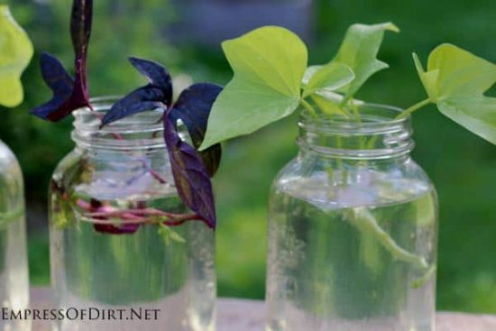 Grow A Sweet Potato Vine from Cuttings