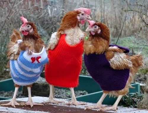 You Will Love These Knitted Chicken Sweaters Free Patterns The Whoot