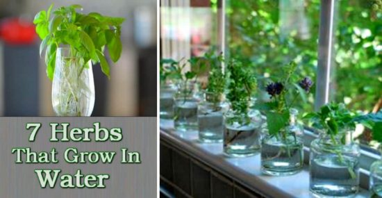 7 Herbs that will grow in water