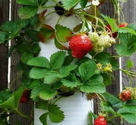 Pvc strawberry planter plans easy video instructions for Strawberry garden designs
