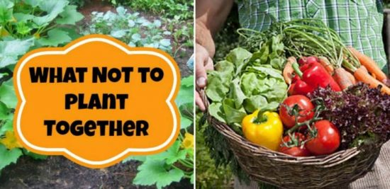 What Not to Plant Together - Companion Planting Guide
