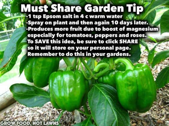 Via Grow Food Not Lawns. Epsom Salt Must Share Garden Tip Photo Gallery