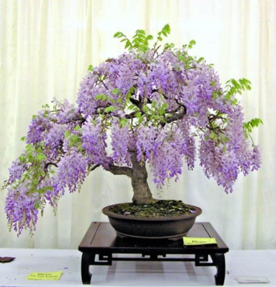 Grow Wisteria In A Pot Video Tutorial The Whoot