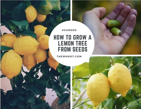 Grow lemon tree from seed youtube video instructions for How do you plant lemon seeds