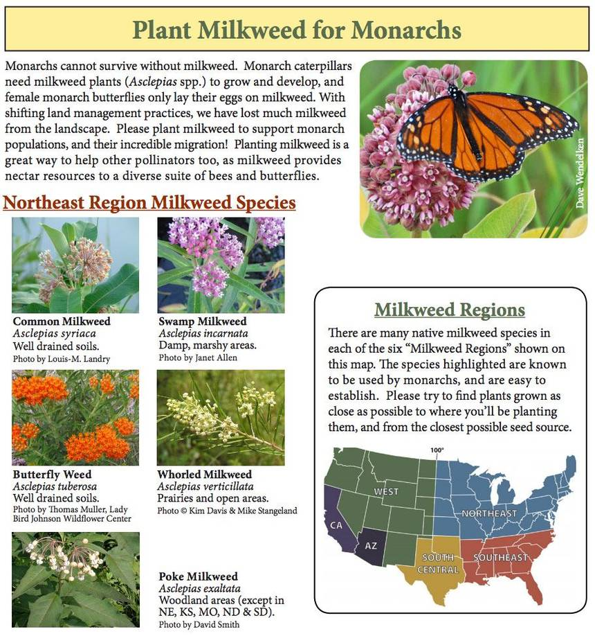Fill Your Garden With Butterflies Plant-Milkweed-For-Butterflies-
