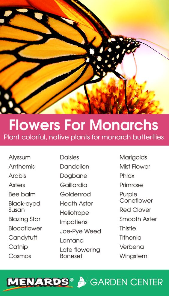 Fill Your Garden With Butterflies Plants-That-Attract-Monarch-Butterflies
