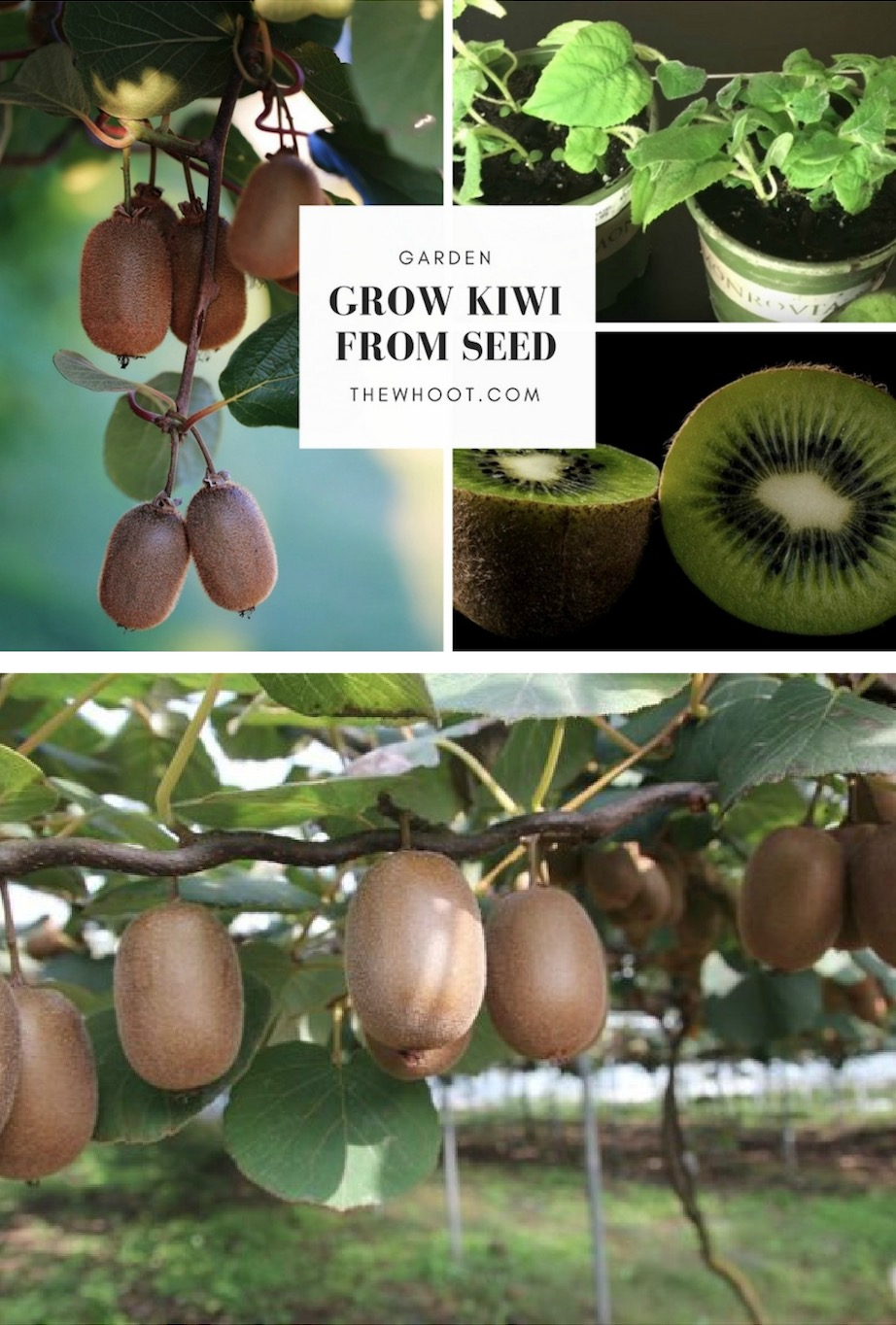 Grow A Kiwi Fruit From Seed Easy Video Instructions