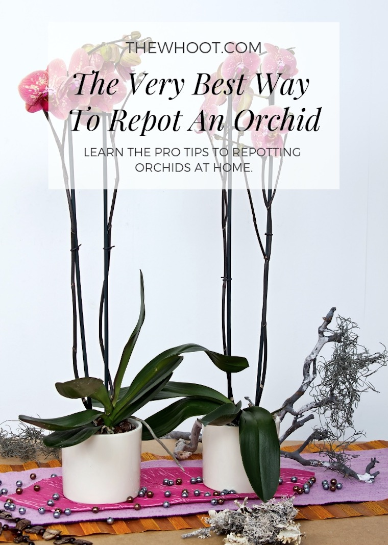 How To Repot Orchids The Correct Way at Home How-to-repot-orchids-