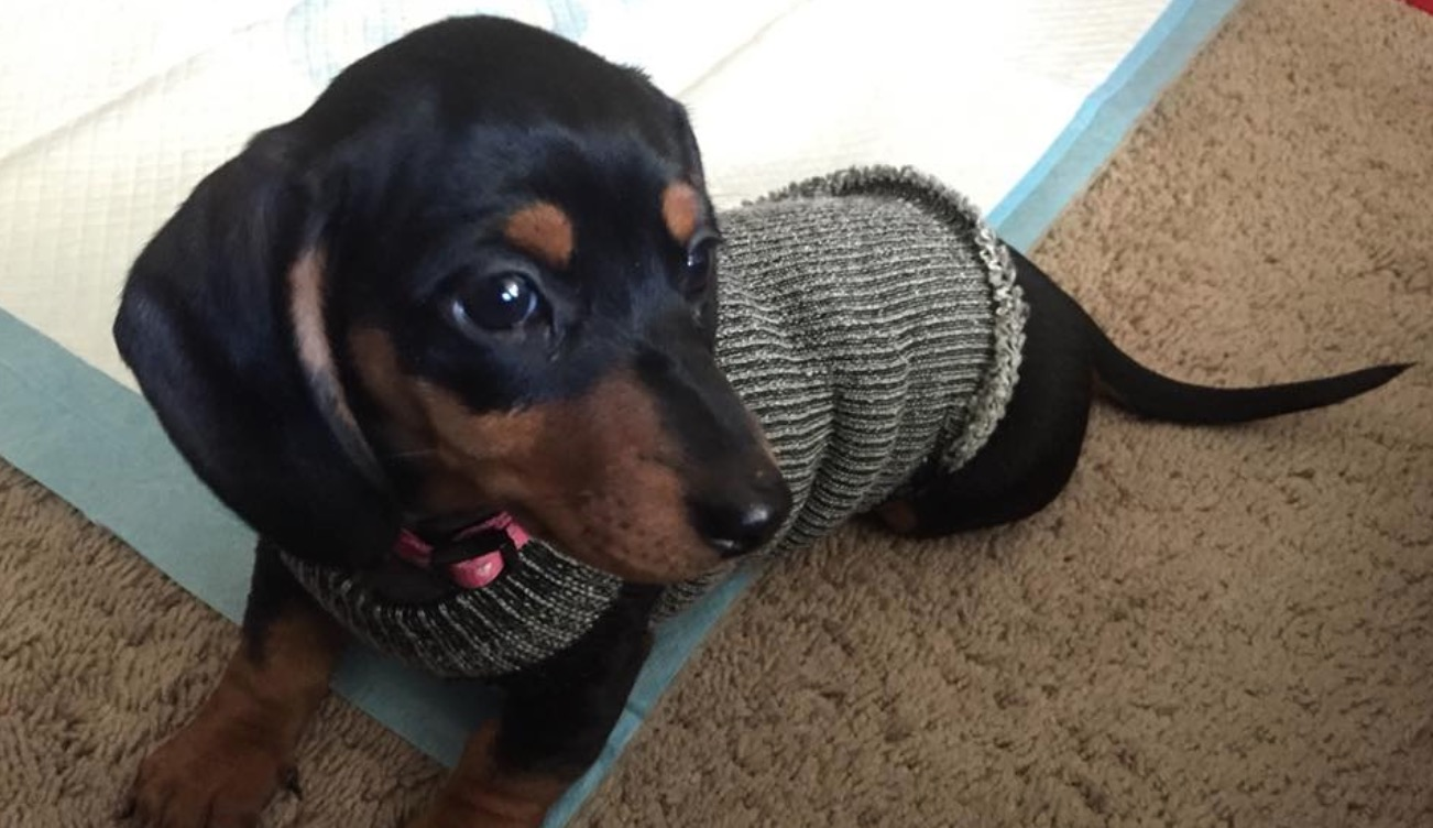 Recycled Dog Sweater Tutorial Easy Video Instructions