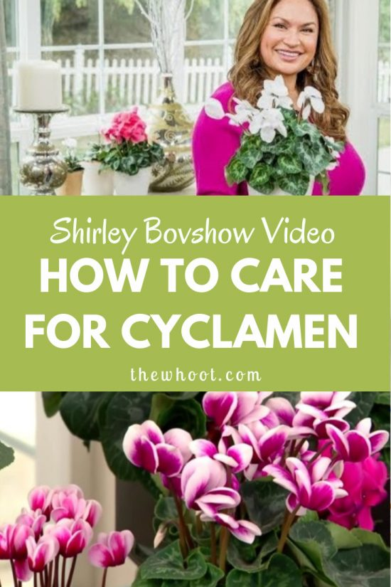 Cyclamen Plant Care Growing Tips Cutting Planting: Cyclamen Plant Care For Flowers All Year Long
