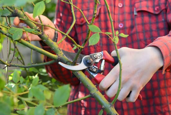 How To Prune Roses Properly Video The Whoot