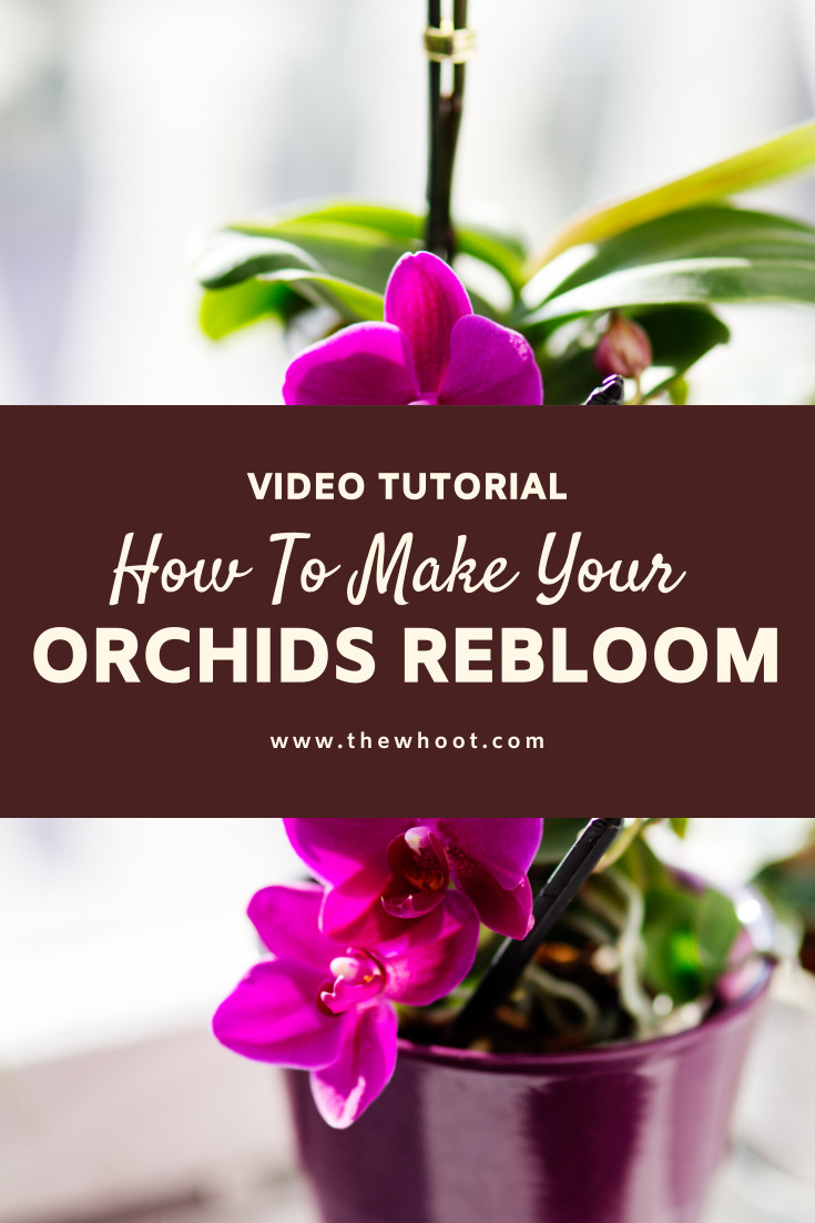 How To Make An Orchid Plant Rebloom Video Instructions The Whoot