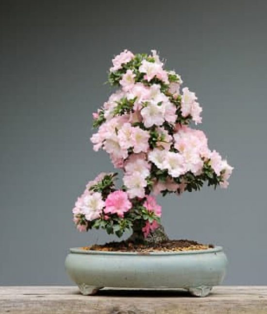 How To Make A Bonsai For Beginners The Whoot