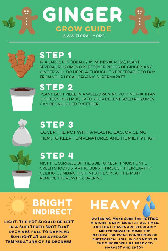 how to grow ginger at home in a pot infographic