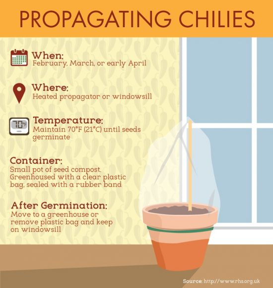 how to grow chilli peppers in pots